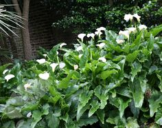 Buy arum lily Zantedeschia aethiopica 'Crowborough': Delivery by Crocus.co.uk - low light planting