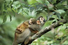 O soninho do filhote de macaco-de-cheiro, encontrado com a mãe pelo fotógrafo na serra do Divisor (Acre - brasil)