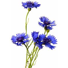 Cornflowers ❤ liked on Polyvore featuring flowers, backgrounds, flora, filler and plants