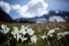 Crocus di montagna in fiore - Blühender Bergkrokus (Passo/Bergpass Brocon – Castello Tesino)