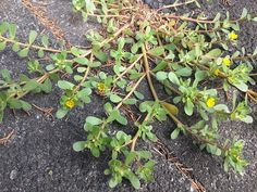 Native wild verdolaga (Portulaca oleracea). Cultivated varieties are popular, but they can't survive over two years. 土着の野生のスベリヒユ。園芸品種のハナスベリヒユはポピュラーだが、こぼれ種で2年はもつけど、3年はもたない。