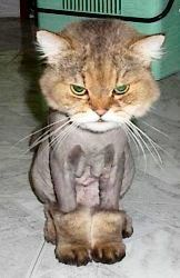 #Shaved Cat  Like,Repin,Share, Thanks!
