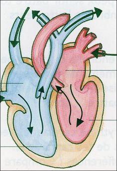 La circulation sanguine: documents supplémentaires video sur la circulation en bas Sciences Cycle 3, Heart Anatomy, Human Body Systems, Circulation Sanguine, Medical, Education, School, Systems Of Human Body, Human Body Anatomy