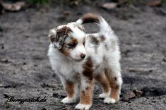 Mini Australian Shepherd... sooo cuteeeee