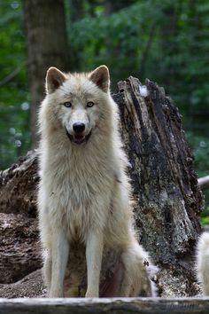 .adorable white wolf