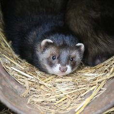 Nature Everyday Day 7 : When it's a dark and wet Sunday morning and you're just too cosy to get up www.afinesetofwhiskers.com #ferret #ferrets #newforestwildlifepark #nature #natureeveryday #wildlife