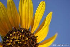 Sunflower & Clear Blue Sky