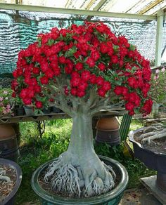 Desert Rose, small size baby Adenium - one year bare Rooted plant- Caudex Bonsai Desert Rose, Planting Roses, Plants, Lawn And Garden, Adenium, Trees To Plant, Desert Rose Plant, Bonsai Garden, Planting Succulents