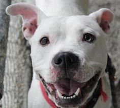 Star, a 3 yr old Terrier/Pit mix available to adopt in Noblesville, IN. She is sweet and social and she LOVES to play! Tag is one of her favorite games to play and she can act as silly as a puppy when she gets into the game, probably because of her deafness. Star is a bit insecure and cowers a bit at fast movements. Once she feels comfortable though, she releases toys easily, takes treats gently. ::: Star was adopted into a great home but has since passed away from a tumor.