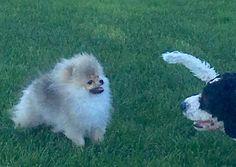 #bellakleinspomeranian   #animals #animal #pets #cute #valp #love #animallovers #petstagram #petlover #animales  #pomeranian #dogs #bellaklein #bellakleins #puppies #hundeoppdretter #pomeranianbreeder #valper #puppy #bellaklein