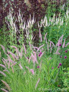 Pennisetum orientale (Oriental fountain grass) – shown here as the pinkish selection 'Karley Rose' – paired with Allium sphaerocephalon (drumstick chives), Veronicastrum virginicum (Culver's root), and Physocarpus opulifolius 'Center Glow' (ninebark)