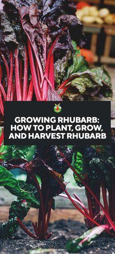 Growing Rhubarb: How to Plant, Grow, and Harvest Rhubarb