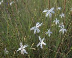 Kései szegfű Dandelion, Flowers, Plants, Dandelions, Florals, Planters, Flower, Blossoms, Plant