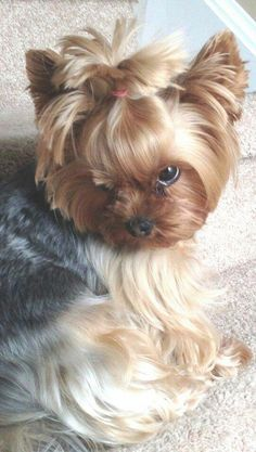 Yorkshire Terrier is one of the most popular dog breeds in the world, and despite their small size, Yorkies have Yorkies, Yorkie Puppy, Chihuahua, Biewer Yorkie, Cute Puppies, Cute Dogs, Dogs And Puppies, Poodle Puppies, Pyrenees Puppies