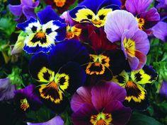 Особенности красивых однолетних цветов для сада. Обсуждение на LiveInternet - Российский Сервис Онлайн-Дневников