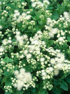Floss flower (Ageratum houstonianum) 'Hawaii White' - Pretty Plants for Summer Container Gardens on HGTV