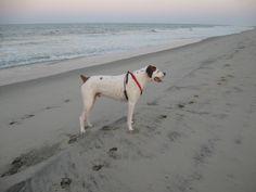 Moose, loving the beach