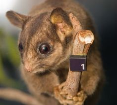 The Leadbeater's possum is facing extinction due to deforestation practices. Without an effective exclusion zone to combat logging companies, the possum will be soon be without a home. Demand that environmental officials expand the exclusion zone to include the habitat of this endangered possum.