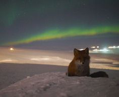 """Vladimir Scheglov sends the picture from the Kupol mine in the Chukotka region of Russia. """"The Kupol mine has banned hunting, so wild animals are not afraid of people,"""" he explains."""