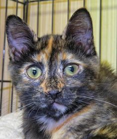 "SPOTS ""6-194"" - URGENT - TOWN OF BABYLON ANIMAL SHELTER in West Babylon, NY - ADOPT OR FOSTER - 3 MONTH OLD Spayed Female Tortoiseshell Mix"