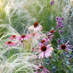 Buy Create a praire plant combination Create a Prairie 'Plant Combination': Delivery by Crocus.co.uk