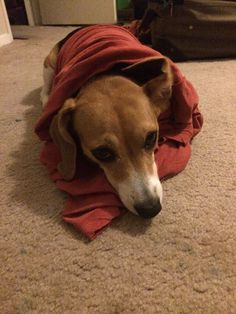 Walked in on someone trying on my clothes... : beagle