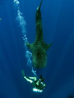 whale shark - up close and personal