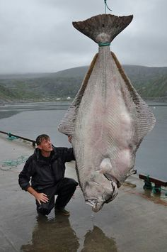 515 lb Halibut world record AWESOME