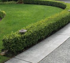 True Dwarf English Boxwood ( buxus ) Would be great as a border just like this around the property
