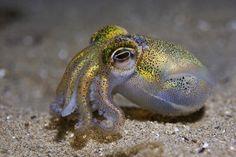 Southern Dumpling Squid (Euprymna tasmanica) (by Cal Mero) Underwater Creatures, Ocean Creatures, Beautiful Sea Creatures, Animals Beautiful, Fauna Marina, Water Animals, Life Aquatic, Wale, Water Life