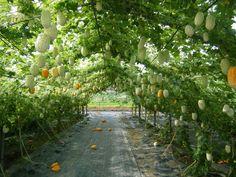 寅さんの丸くて白いアップルゴーヤ(白秀)3号ポット6株セット :野菜の苗 通販 engei.net