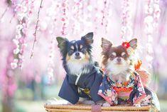 今年は開花が遅れているお花達だけど虎太郎地方の桜の開花予想は数日前に見た予想だと3月21日  思っていたより早いよ 心の準備が全く出来てない  今週末は雨マークまでついてるし  今月末からはギャラリーまっピンク  #チワワ#カメラ練習中#カメラ女子#写真好きな人と繋がりたい#はなまっぷ#梅#こっとんぱーるお着物#垂れ梅#着物#sonya6300#dog#dogstagram#instadog#east_dog_japan#instajapan#7pets_1day#bestfriends_dogs#inutokyo#total_dogs#todayswanko#wp_flower#flower_special_#dreamyphoto#photo_travelers#loves_garden#東京カメラ部#tokyocameraclub