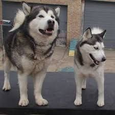 Image Result For Malamute With Images Alaskan Malamute