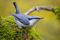 The Eurasian nuthatch or wood nuthatch is a small passerine bird found throughout temperate Asia and in Europe, where its name is the nuthatch.  Обыкновенный поползень / Sitta europaea by Евгений Попов on 500px