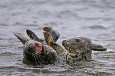A laughing seal