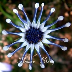 50 Blue Daisy hardy plants flower seeds exotic ornamental flowers