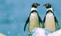Gay Penguins Stan and Olli Are Not Alone | video | Science | The Guardian