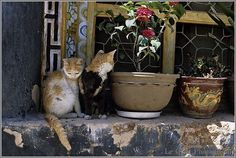 75 best Les chats du tibet images on Pinterest | Cats, Tibet and I ...