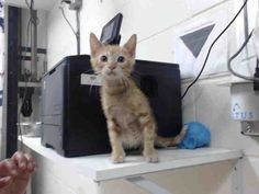 8/3  Urgent    8/1  ASHTON - ID#A459227 - URGENT - located at Harris County Animal Shelter in Houston, Texas - 15 WEEK OLD Neutered Male Orange Tabby Domestic SH - at the shelter since May 17, 2016.