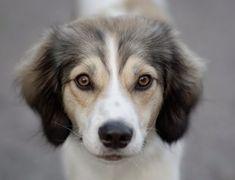 De Afador is een kruising tussen een Afghaanse windhond en een labrador die rond het jaar 2000 in Alaska is ontstaan. Het is nog steeds een zeldzaam hondenras en de fokkers werken aan het stabiliseren van de persoonlijkheid en het uiterlijk van het ras. Labrador Retrievers, Dog Training, Husky, Corgi, Animals, Animais, Corgis, Animales, Animaux