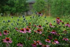 Ogród nad Rozlewiskiem - strona 101 - Forum ogrodnicze - Ogrodowisko
