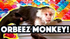 Monkey, Raccoon, and Skunks Play in ORBEEZ!!! | Official Orbeez