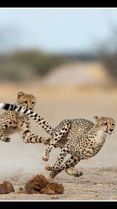 Beautiful Cats, Animals Beautiful, Big Cats, Cats And Kittens, Cheetah Cubs, Cheetahs, African Animals, Animal Sculptures, Nature Animals