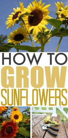 Tomato Gardening For Beginners Sunflowers have become an essential part of our garden every year and we've learned a few methods for making them super easy to grow successfully. Here are our tips for how to grow sunflowers! Raised Vegetable Gardens, Home Vegetable Garden, Herb Garden, Terrace Garden, Raised Gardens, Garden Cart, Garden Kids, Potager Garden, Glass Garden