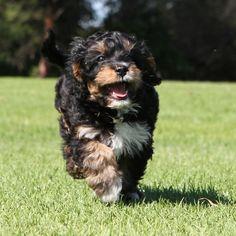 Cute Cavoodle puppy - Hugo