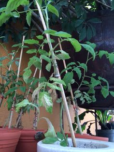 Aqui se ve como van creciendo nuestras plantas sanente porque le hemos dado un buen cuidado del sol y del agua -Ana Gaby Gonzalez 29/04/15