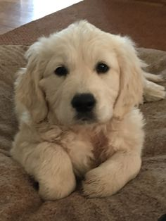 Puppies And Kitties, Cute Puppies, Cute Dogs, Doggies, Chien Golden Retriever, Golden Retrievers, Beautiful Dogs, Animals Beautiful, Amazing Animal Pictures