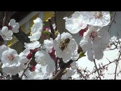 Dialogues d'abeilles et de fleurs d'abricotier, activité butinante et bruissante et bourdonnements en choeur, mars 2012. Se promener dans les branches, suivre les abeilles et rêver dans les pétales odorantes. Un bel abricotier en fleurs blanches, avec une touche de rouge.