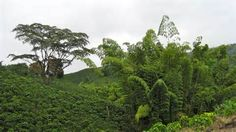 Colombia. Coffee Plantations Chinchina.