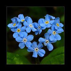"""HEART....(Forget me not) by Dan Everest on  La flor """"no me olvides"""" azul: Recordatorio de la fidelidad, de la promesa de no olvidar a la persona amada."""